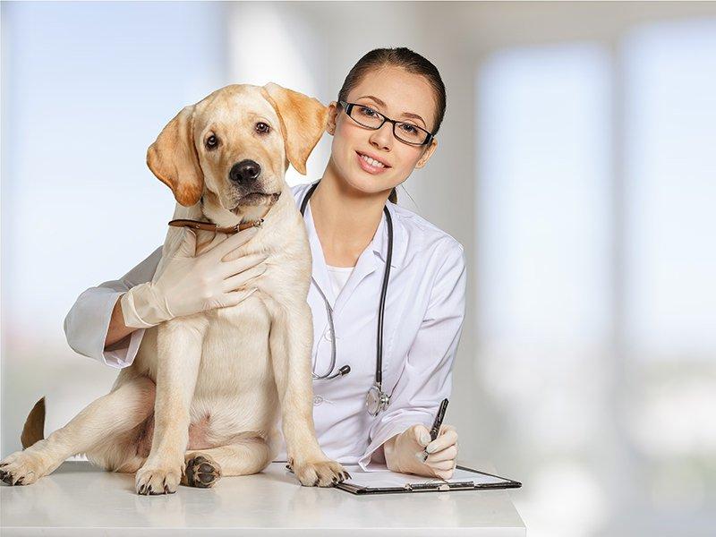 Labrador: care and maintenance
